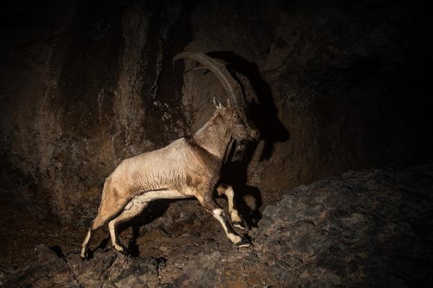 자연 서식 지에서 야생 bezoar 염소 bezoar ibex capra aegagrus