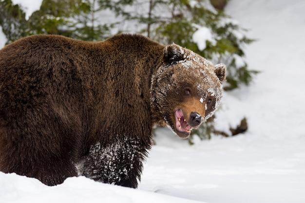 Дикий большой бурый медведь в зимнем лесу