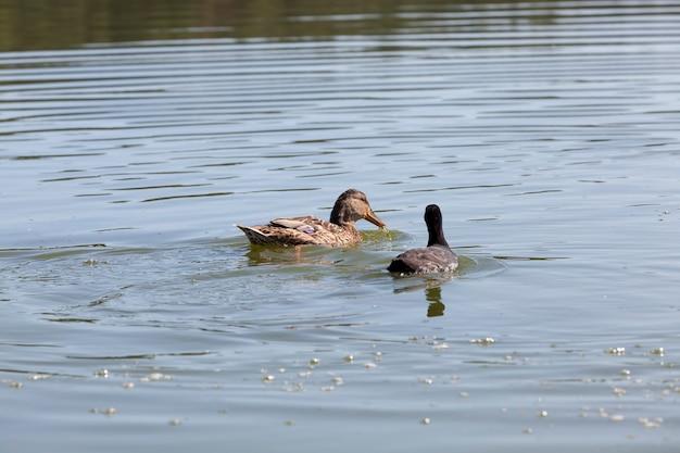 자연 서식지의 야생 조류 오리, 야생의 물새, 유럽의 봄 또는 여름 야생 오리