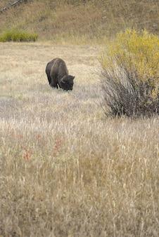옐로 스톤 국립 공원에서 야생 들소