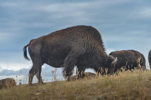 Wild bison in the park