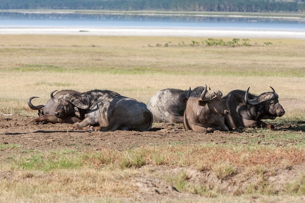 野生の黒いアフリカスイギュウは、ケニア、アフリカの草のサバンナに横たわっています