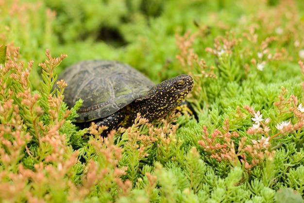 Дикая черно-желтая болотная болотная черепаха ползет по пышной траве