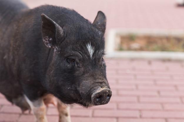 Дикий черный кабан или свинья заделывают. дикая природа в естественной среде обитания