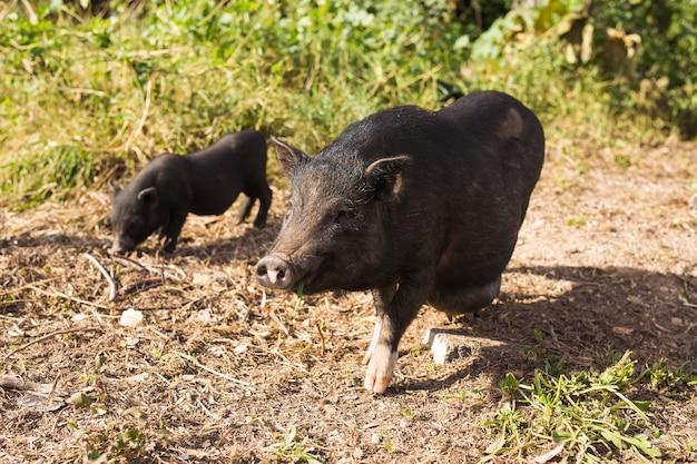 Дикий черный кабан или свинья гуляют по лугу. дикая природа в естественной среде обитания,