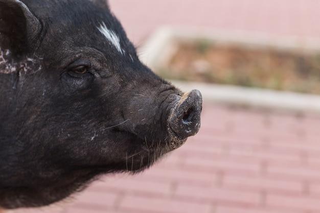 Дикий черный кабан или свинья гуляют по лугу. дикая природа в естественной среде обитания