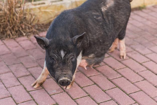 Дикий черный кабан или свинья. дикая природа в естественной среде обитания