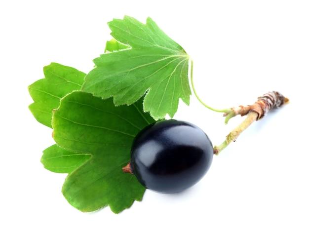 Дикая черная смородина с зелеными листьями на белом