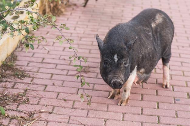 Дикая черная свинья гуляет по улице