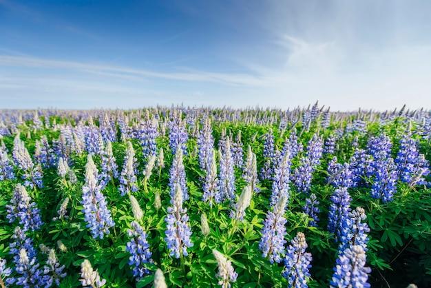 여름에 높은 잔디에 피는 야생 푸른 lupinus