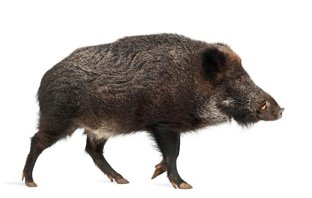イノシシも野生の豚が分離されました