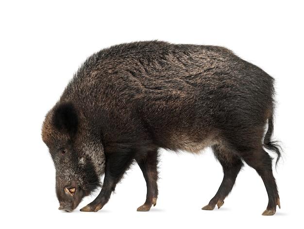 Кабан, также дикая свинья - sus scrofa, изолированные на белом