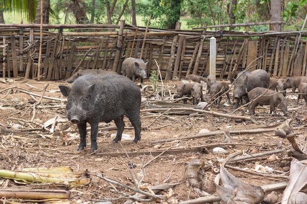 Wild boar family on rural farm