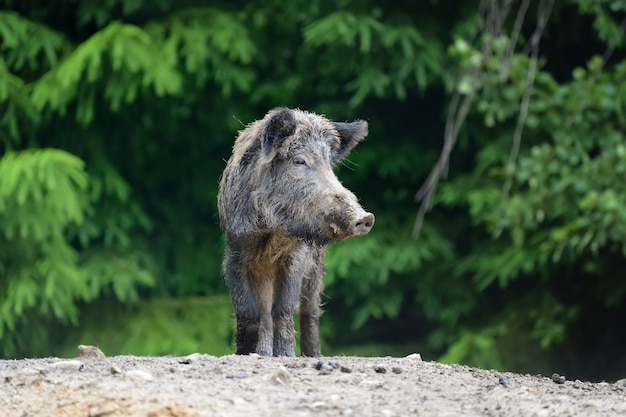 Wild boar on the forest in springtime