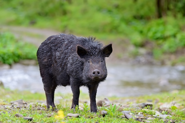 Wild boar on the forest in summer time