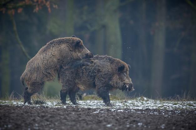 야생 멧돼지 자연 서식지 위험한 숲 속의 동물 체코 공화국 자연 sus scrofa