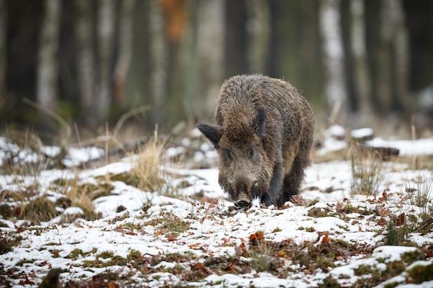 自然生息地のイノシシ森の危険な動物チェコ共和国自然susscrofa