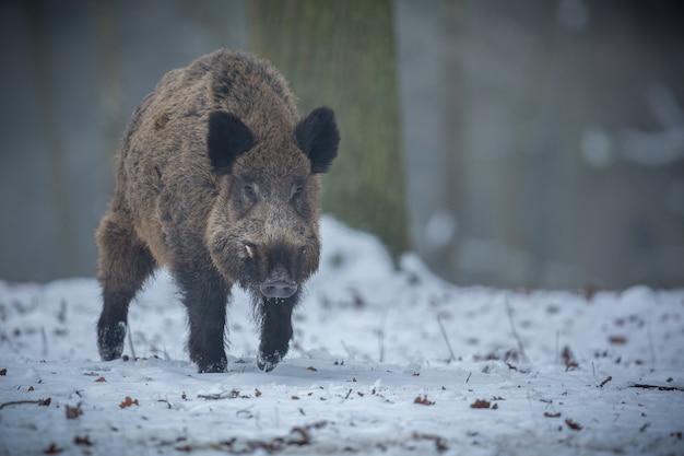 Кабан в природе среда обитания опасное животное в лесу чешская республика природа сус скрофа