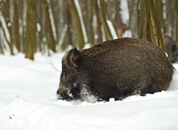 冬の森のイノシシ