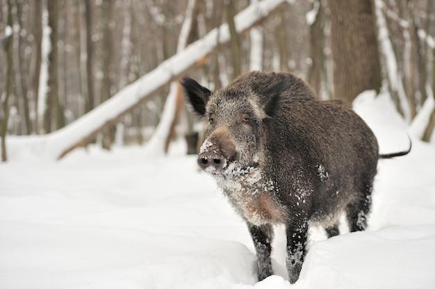 Кабан в зимнем лесу