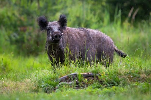Кабан смотрит в камеру на траве летом