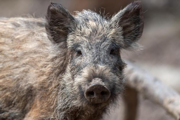 Wild boar male in the forest, (sus scrofa)
