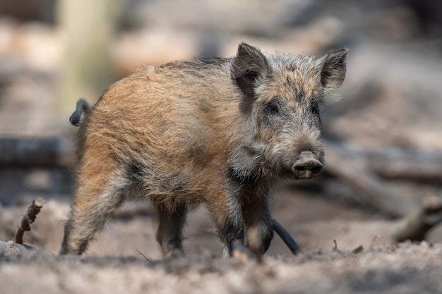 Wild boar male in the forest