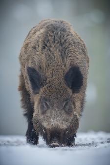 Wild boar in the nature habitat dangerous animal in the forest czech republic nature sus scrofa