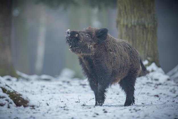 Cinghiale nell'habitat naturale animale pericoloso nella foresta repubblica ceca natura sus scrofa