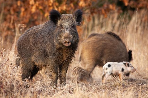 イノシシが彼女の後ろに餌をやる若い縞模様の子豚