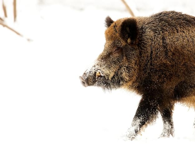 Wild boar in the snow, a portrait