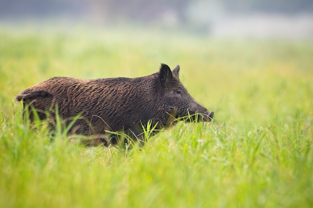 Wild boar standing on meadow from side with copy space