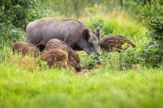 Дикий кабан, сус скрофа, семья, пасущаяся на лугах под летним солнцем