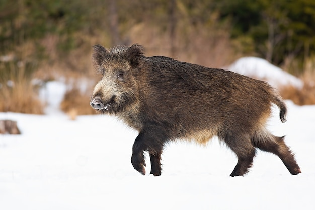 Кабан гуляет по заснеженному лугу зимой