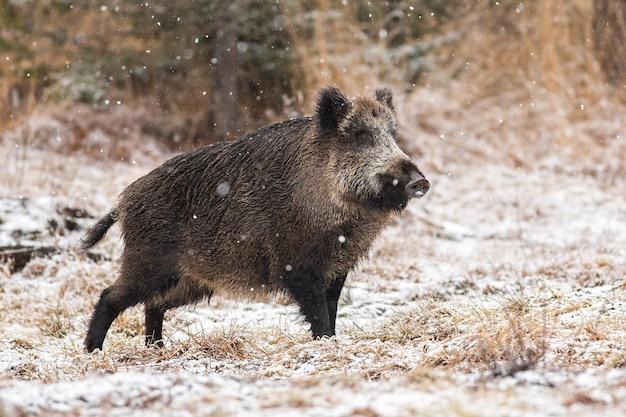 Кабан гуляет по лугу во время снегопада.