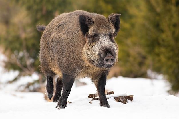 Кабан гуляет по заснеженному полю в зимней природе.