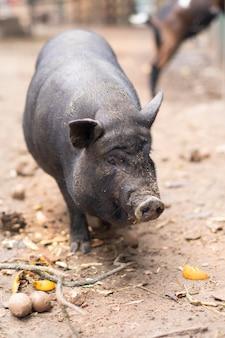 Кабан гуляет по улице. свинья кряхтит. год свиньи