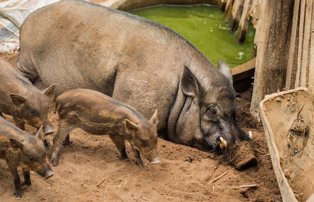 Wild boar with young  in farm in the morning.wildlife in natural habitat.