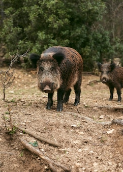 Wild boars in nature