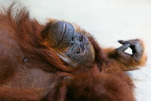 Дикий борнейский орангутанг в заповеднике семенгго, центр реабилитации дикой природы в кучинге. орангутаны - обезьяны, находящиеся под угрозой исчезновения, населяющие тропические леса борнео (калимантан) в малайзии и индонезии.