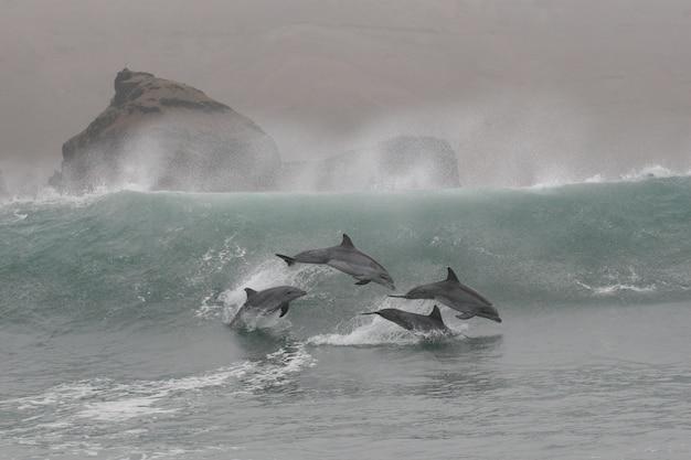 Дикие дельфины-афалины, прыгающие с береговой линии перу