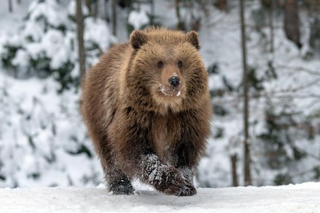 Дикий бурый медведь крупным планом в зимнем лесу