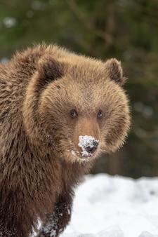 Детеныш дикого бурого медведя в зимнем лесу