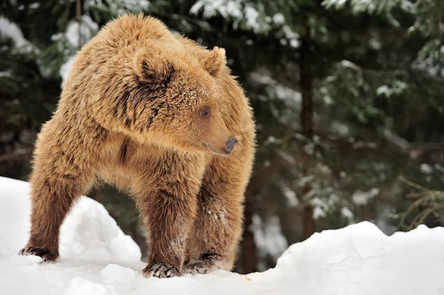 Дикий бурый медведь в зимнем лесу