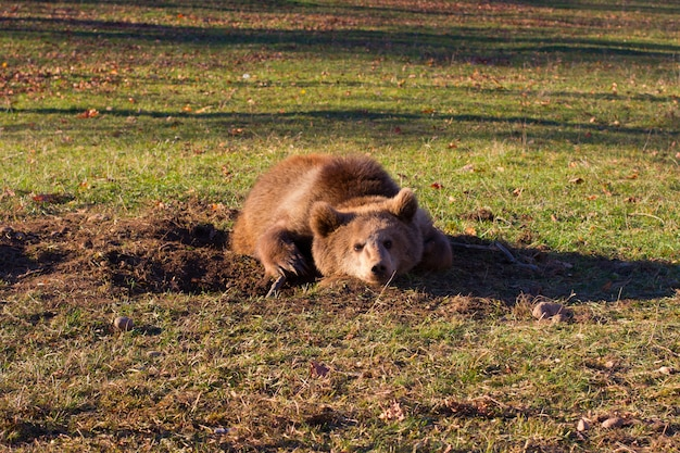 Wild brown bear lies on the sunny meadow