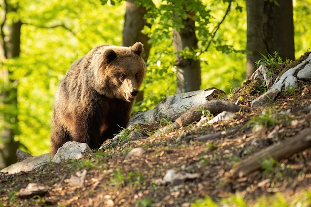 Wild brown bear standing in summer nature at sunset.