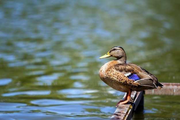 Wild brown duck sitting on water background.