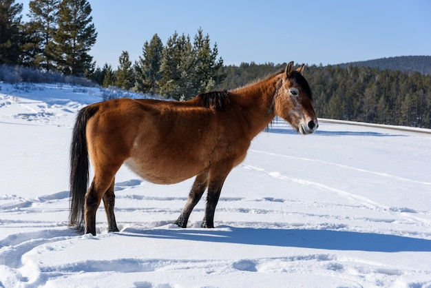 Дикая коричневая лошадь стоит на дороге и смотрит в камеру в зимний солнечный день