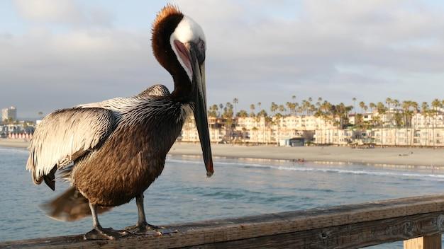 부두 캘리포니아 바다 해변 미국 해안 pelecanus 큰 새 큰 빌 부리에 야생 갈색 펠리컨