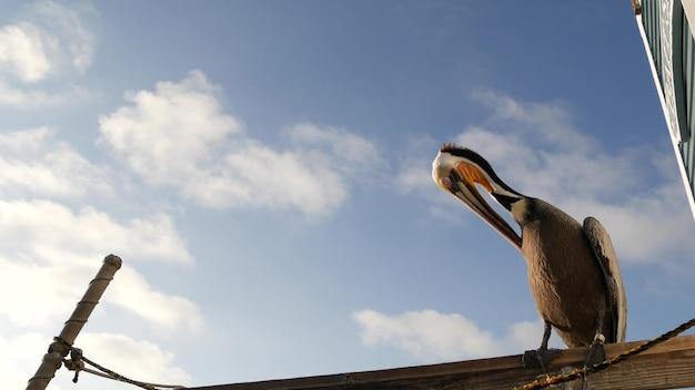 나무 부두 난간에 있는 야생 갈색 펠리컨, 오션사이드 보드워크, 캘리포니아 바다 해변, 미국 야생 동물. 바다 물에 의해 회색 pelecanus입니다. 자유에 큰 새가 닫고 푸른 하늘입니다. 큰 부리. 낮은 각도